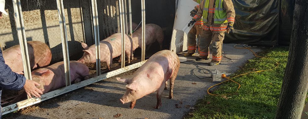 Runaway Pigs